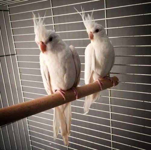 Tiel,Albino valkparkiet